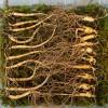 산양산삼 5~6년근 10뿌리