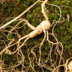산양산삼 9~10년근 10뿌리