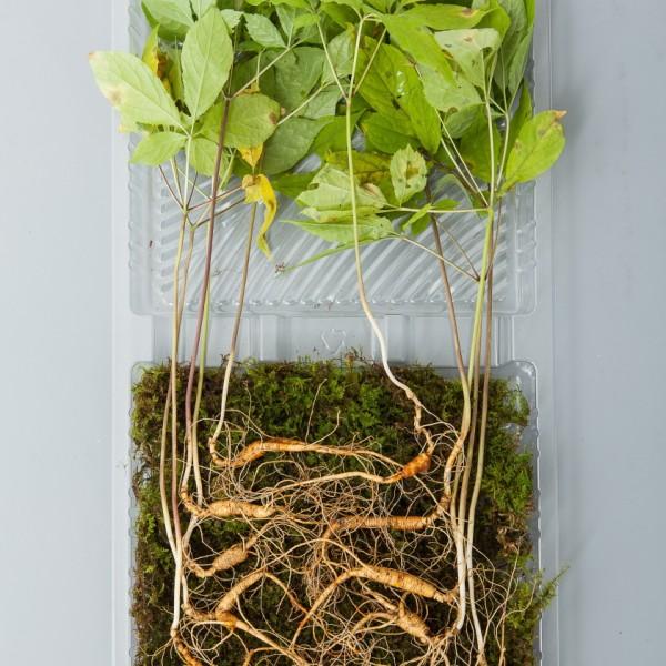 산양산삼 11~12년근 5뿌리